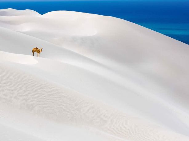 Camel - White Sands